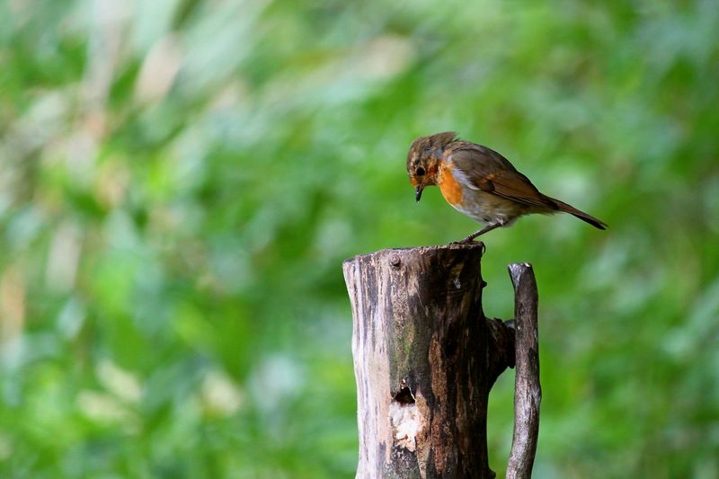 Young Robin Animal Animal Themes Animal Wildlife Animals In The Wild Bird Close-up Day Focus On Foreground Full Length Nature No People One Animal Outdoors Perching Plant Post Robin Tree Vertebrate Wood - Material Wooden Post