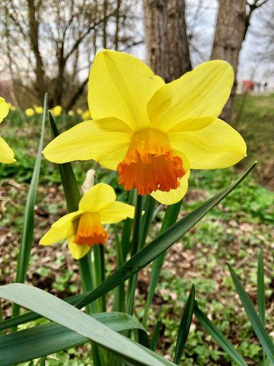Frühlingsgrüsse Flowering Plant Plant Flower Yellow Fragility Vulnerability  Freshness