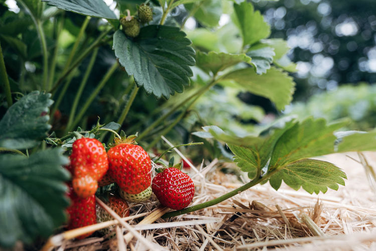 STRAWBERRY FIELDS Food And Drink Agriculture Close Up Food Freshness Fruit Healthy Eating Healthy Food Healthy Lifestyle Nature Outdoors Red Rural Rural Scene Strawberry Vegetable The Foodie - 2019 EyeEm Awards Berry Fruit Wellbeing Leaf Plant Part Growth Plant Close-up Day Selective Focus No People Green Color Ripe