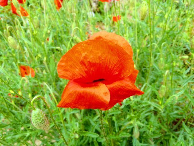 Flower Head Red