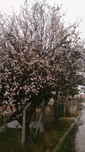 Baharıngelişi Yağmurlugün badem çiçeği