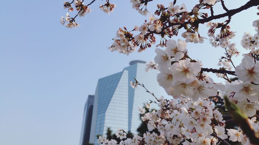 Cherry Blossom season is about to start in Yeouido Park Seoul, Korea 서울 여의도공원 IFC Skyscraper Low Angle View Nature Clear Sky Growth No People Springtime Flower City Business Finance And Industry Urban Skyline Tree Sky Outdoors Day Cityscape Close-up Freshness Branch