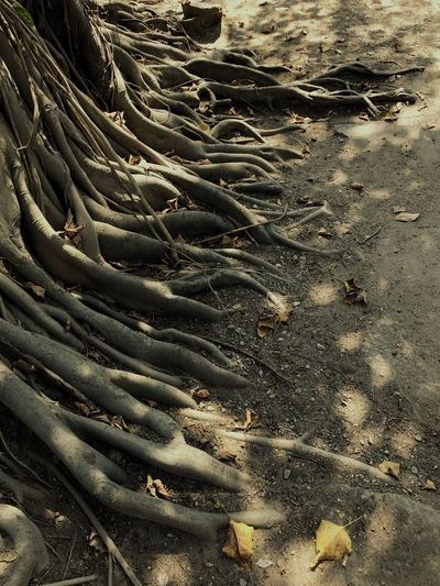 Macro Root Root Of A Tree Roots Of Tree Roots And Branches Big Trees. Tree Trunk High Angle View Outdoors Trees And Nature EyeEm Tree Collection Standing Strong Tree