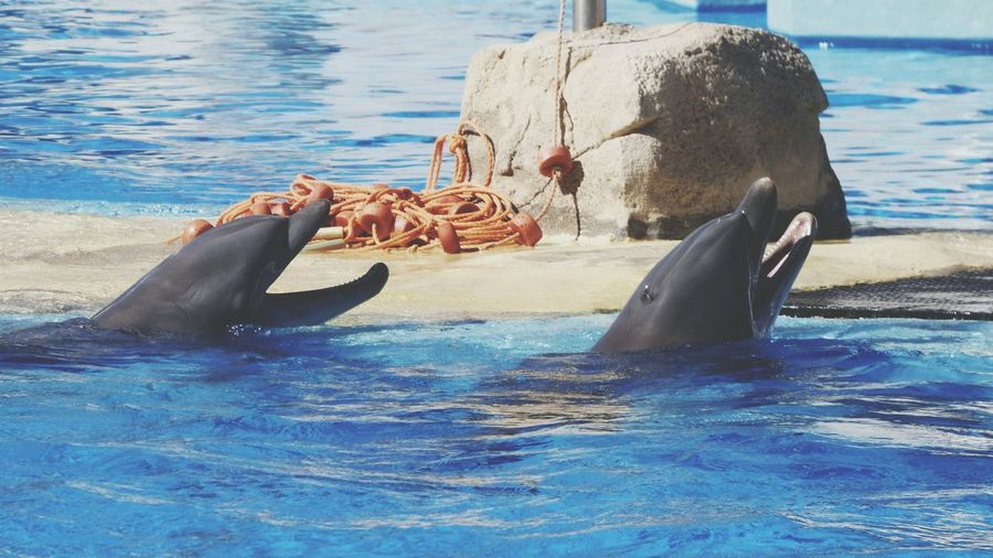 EyeEm Selects Water Mammal Day Outdoors Animal Themes Aquatic Mammal Motion Dolphinewatch Dolphin Zoo Photography  Dolphin Show  Two Dolphins Zoo Photography  Zoo Day Dolphines Swiming Pool