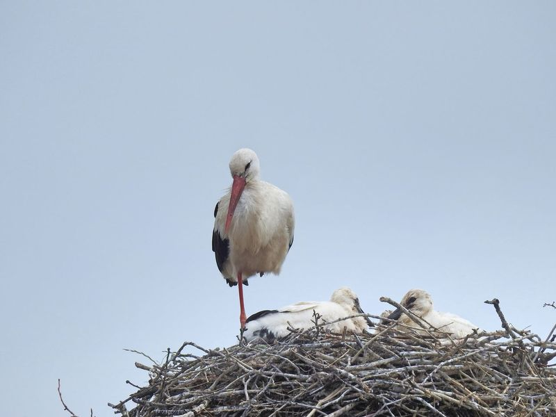 Animal Nest Animal Themes Animal Wildlife Animals In The Wild Bird Bird Nest Clear Sky Day Low Angle View Nature No People Outdoors Perching Sky Storchendorf Linum Stork Twig White Stork