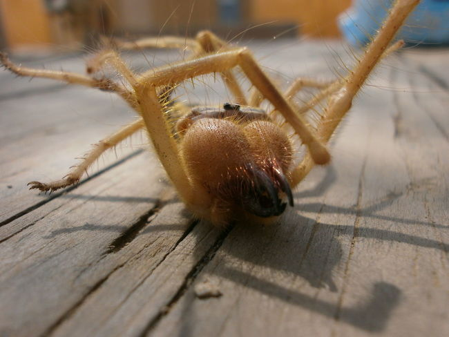 Afganistan Animals In The Wild Camel Spider Close-up Critter Desert Insect Outdoors