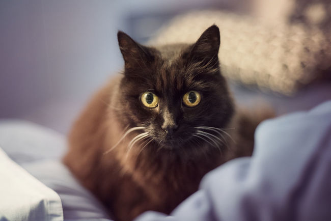 Black Cat Bed Black Cat Domestic Life Home Animal Animal Eyes Animal Themes Black Cat Photography Domestic Animals Domestic Cat Domesticated Animal Tag Eyes Feline Home Interior House Indoors  Mammal One Animal One Person Pets Portrait Real People Siamese Cat Whisker