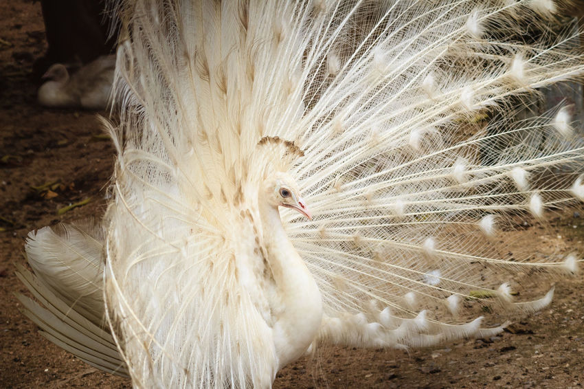 Beautiful white peafowl with feathers out. White male peacock with spread feathers. Albino peacock with fully opened tail. Albino Peafowl White Peacock Albino Albino Bird Albino Peacock Animal Animal Body Part Animal Themes Animal Wildlife Animals In The Wild Bird Close-up Day Fanned Out Feather  Feathers Of A Bird Field Land Male Peacock Nature No People One Animal Opened Tail Outdoors Peacock Peacock Feather Peacock Feathers Peacockphotos Peafowl Peafowl Chicks Peafowl Head Peafowl Tail Spread Feathers Vertebrate White Color White Peacock Dancing White Peafowl