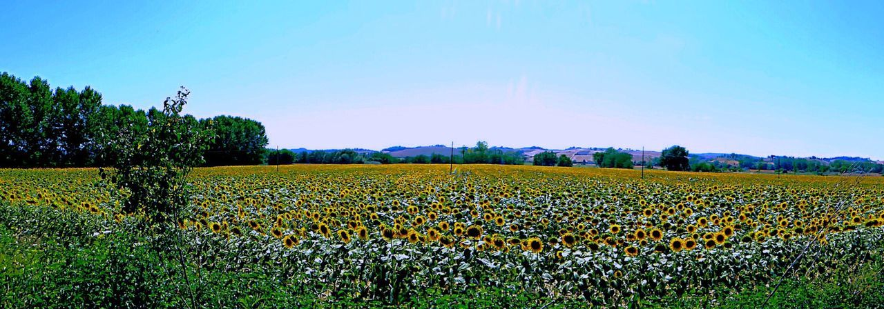 Italy🇮🇹 Montepulciano Toscana Italy Agriculture Field Growth Beauty In Nature Nature Rural Scene Tranquility Crop  Tranquil Scene Day Sky Scenics Landscape No People Plant Outdoors Flower Freshness Sunflowers In The Field Soldiers Of The Sun Antenna Flowers EyeEm Nature Lover Beuatiful Nature