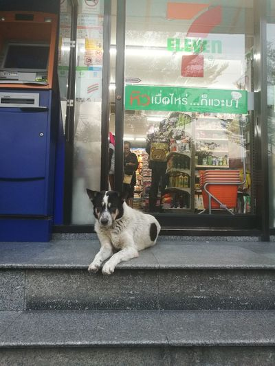 7-11 Lovely Gate Keeper Dog Streetphotography Cvs7-11 bangkok