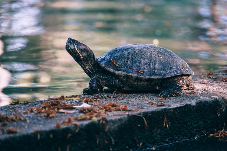 Close-Up Of Turtle On Retaining Wall