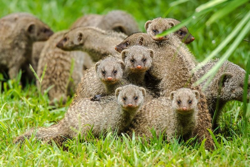 Zebramangusten Grass Animal Themes Field Young Animal Nature Animal Family Day Growth No People Outdoors Animals In The Wild Mammal Beauty In Nature Togetherness Manguste Zebramangusten Social Cute Pets Cute Family