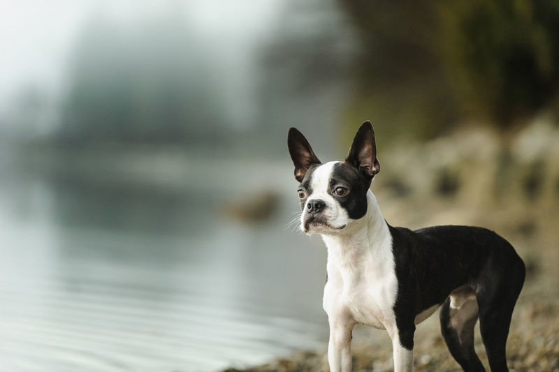 Boston terrier standing by lake