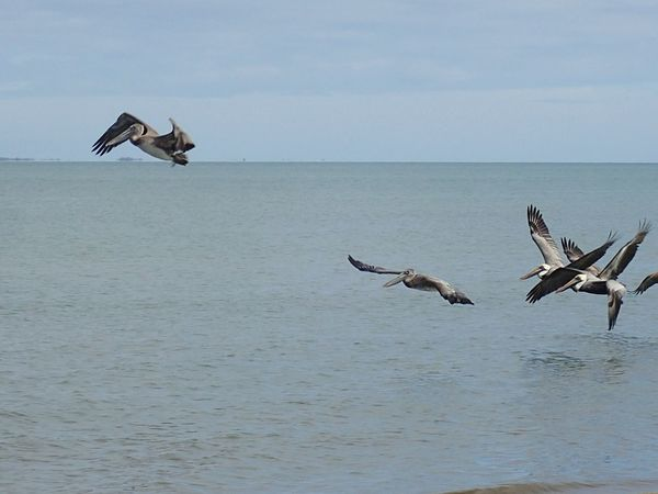 Pelicans In Flight Pelicans CARIBBEANLIFE Blue Wanderlust Belize Barrier Reef Beautiful Nature Travel Photography Caribbean Sea Flying Birds Action EyeEm Selects Bird Flying Animals In The Wild Animal Wildlife Nature Spread Wings Animal Themes Sea No People Outdoors Day Water Mid-air Sky Beauty In Nature Bird Of Prey