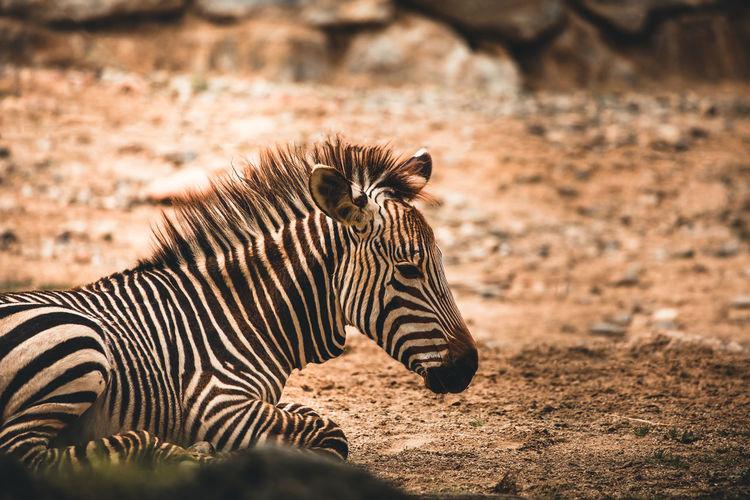 Zebra Animal Nature Safari Day Striped Side View Animal Wildlife Animals In The Wild Land One Animal Outdoors Semi-arid Travel Destinations Arid Climate Tourism Climate No People Mammal Animal Themes Vertebrate