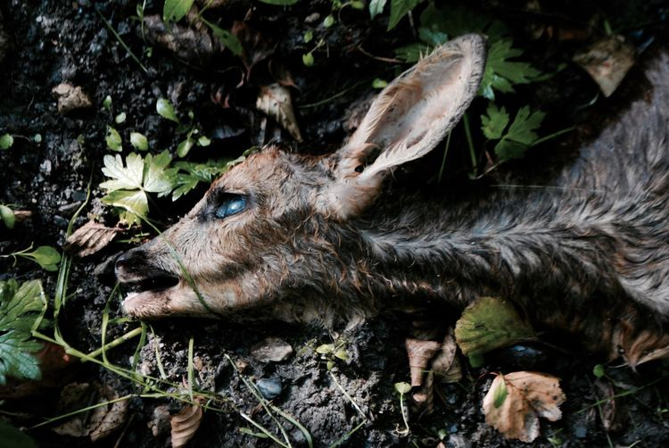 Animal Themes Animals In The Wild Close-up Day Dead Dead Beauty Dead Poetry Deer Leaf Mammal Nature No People One Animal Outdoors