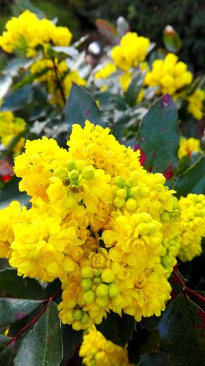 Kirschlorbeer Taking Photos Check This Out Yellow Things I Like The Places I've Been Today Showcase April Spring 2016 Spring! April2016 Spring Has Arrived My Happy Place  My Hobby Yellow Explosion Bokeh Gardentime Welcome To My Garden In My Garden Evening Light Garden Photography