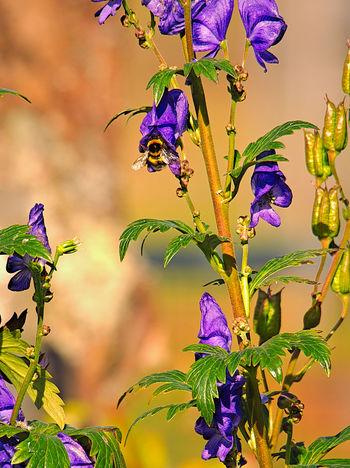 Blauer Eisenhut Erdhummel Besucht Blauen Eisenhut EyeEmNewHere Beauty In Nature Blooming Close-up Day Flower Flower Head Fragility Freshness Growth Nature No People Outdoors Petal Plant Purple