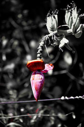 Banana Banana Flower Bud Blossom Hanging Red Close-up My Best Photo