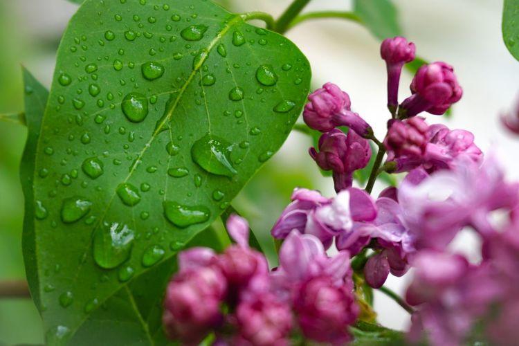 Close-up of wet purple flowering plant during rainy season
