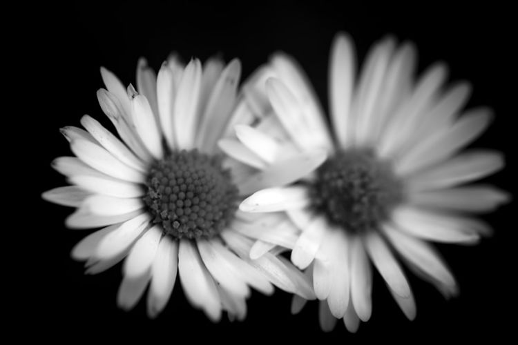 Flower Flowering Plant Vulnerability  Fragility Petal Freshness Inflorescence Flower Head Beauty In Nature Close-up Plant Growth Pollen Studio Shot No People Nature Black Background Indoors  Daisy Osteospermum