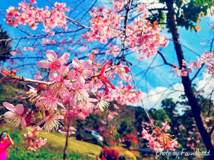 Flower Flowers Chiang Mai | Thailand Hello World