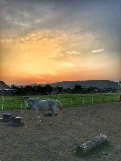 Horse at sunset Domestic Animals Sunset Animal Themes Livestock Horse Sky Mammal Field Cloud - Sky Nature Outdoors Landscape No People Beauty In Nature Day