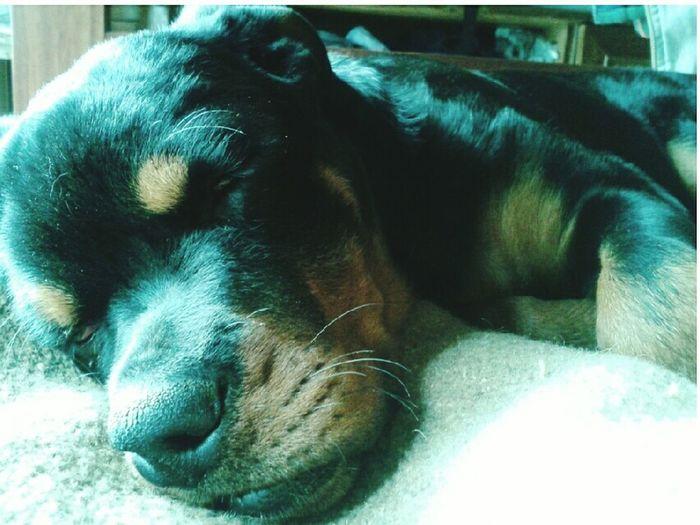 Dog Sleeping  Fotografia First Eyeem Photo Dogstagram Cute Dog Love Sopretty Samy Hello World