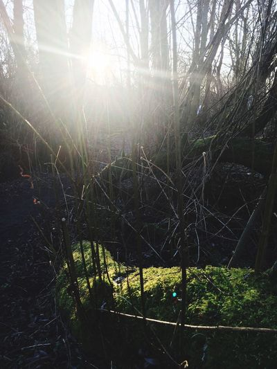 Woodland Walk Mossy Tree Sun Splitting The Trees Nature Sunlight No People Tranquility Forest Growth Outdoors