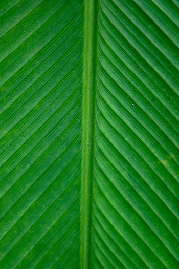 banana leaves Backgrounds Leaf Full Frame Close-up Green Color Leaf Vein Leaves Fallen Fall Change Autumn Collection Maple Tree Dried Autumn Falling Maple Dry Fallen Leaf Water Drop Maple Leaf Natural Pattern Dew Frond Palm Leaf Lush - Description Plant Life Drop Droplet Banana Leaf