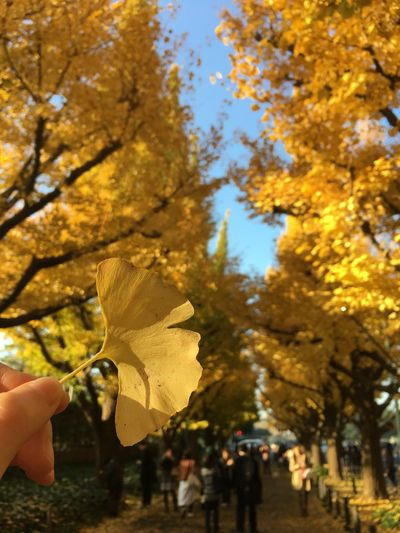 Autumn Leaf Tree Yellow Leaves Outdoors Japan Autumn Ginkgo Ginkgo Leaf Close-up Nature Beauty In Nature Tokyo