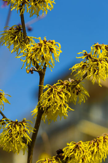 Beauty In Nature Branch Clear Sky Close-up Day Fine Art Photography Flower Fragility Growth Hamamelis Intemedia Low Angle View Nature No People Outdoors Scenics Sky Summer Travel Destinations Tree Yellow