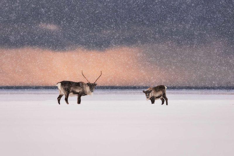 Deer on snow covered landscape