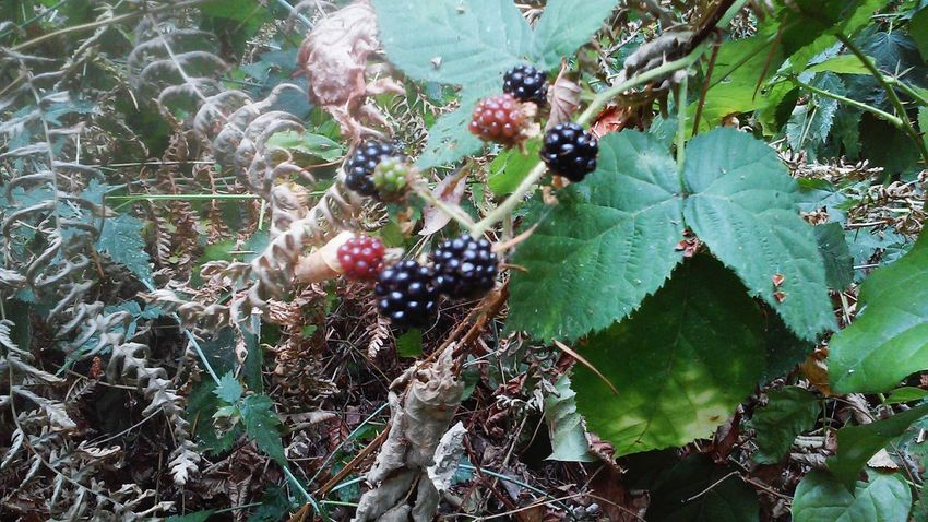 Vacation2015 Seattle Blackberries Wildlife & Nature Eyeemnaturelover Wildfruits