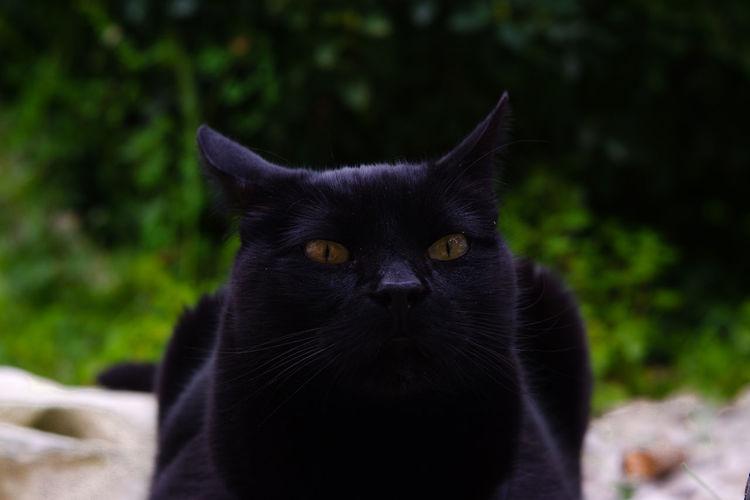 loki Black Cat