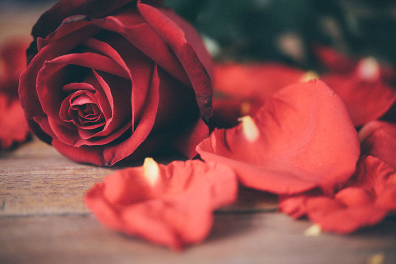 Beauty In Nature Blooming Close-up Day Flower Flower Head Fragility Freshness Growth Nature No People Outdoors Petal Plant Red Rose - Flower Rose Petals