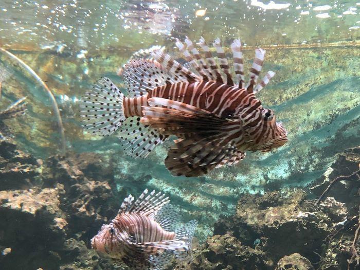 Lionfish Lionfish Animals In The Wild Animal Wildlife Animal Underwater Water Animal Themes Sea