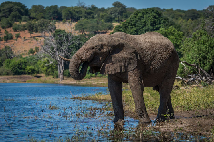 African elephant standing at waterhole