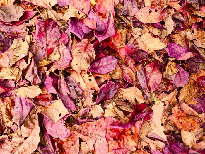 Abundance Autumn Backgrounds Beauty In Nature Change Close-up Day Dry Fallen Fragility Full Frame Large Group Of Objects Leaf Leaves Maple Maple Leaf Nature No People Outdoors Weather