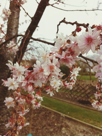 Ailine Filter Blooming Nature_ Collection  EyeEm Nature Lover prunus subhirtella