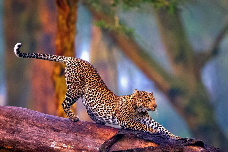 Leopard on fallen tree