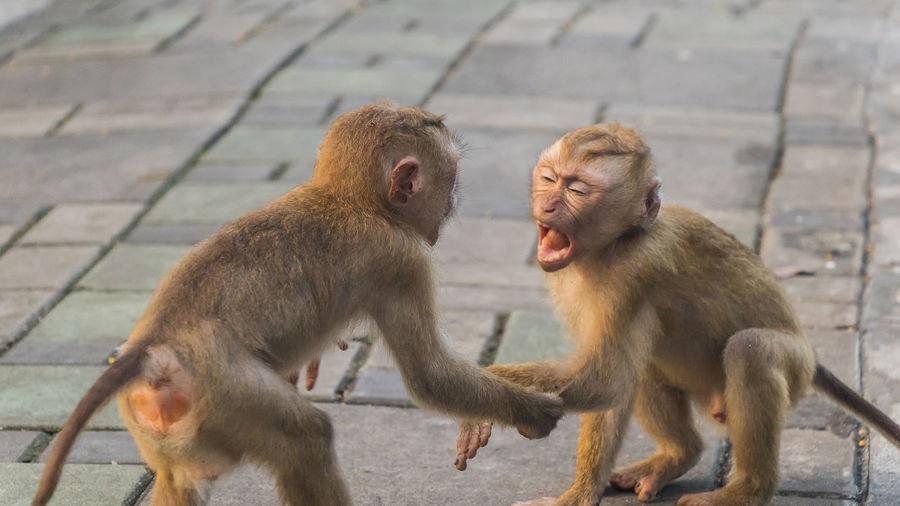 Monkeys sitting on footpath
