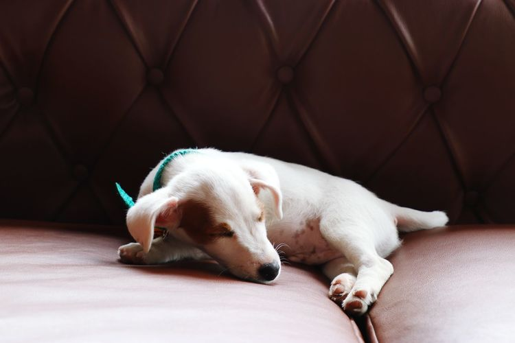 sleeping on a chair Brown White Color Chair Light Calm Tranquility Pets Dog Lying Down Sleeping Tired Eyes Closed  Puppy