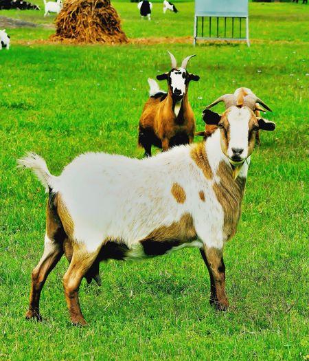 Goat Animals summer Nature Spring Texas Sanmarcos Springhassprung Ringaroundtherossie