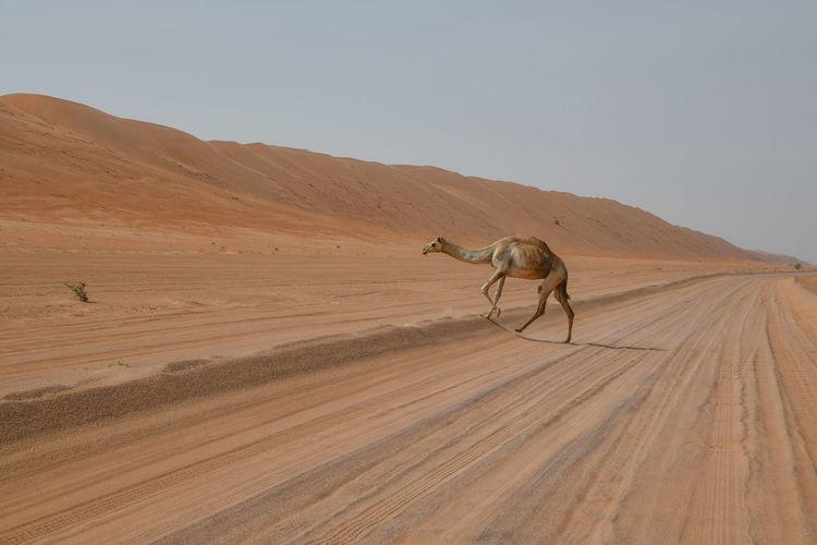 Full length of camel walking in desert against clear sky