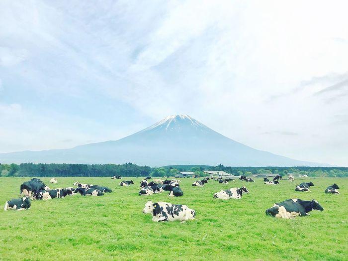 Camping The Great Outdoors - 2018 EyeEm Awards The Traveler - 2018 EyeEm Awards Animals Animal Cows Cow Mtfuji Mount FuJi Mountain Sky Cloud - Sky Scenics - Nature Landscape Grass Nature Field Outdoors