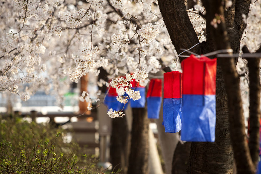Anyangcheon Beauty In Nature Branch Cheongsachorong Cherry Blossom Close-up Day Flag Flower Focus On Foreground Fragility Freshness Growth Hanging Nature No People Outdoors Red Rope Selective Focus Showcase April Spring Time Tree Tree Trunk Wood - Material
