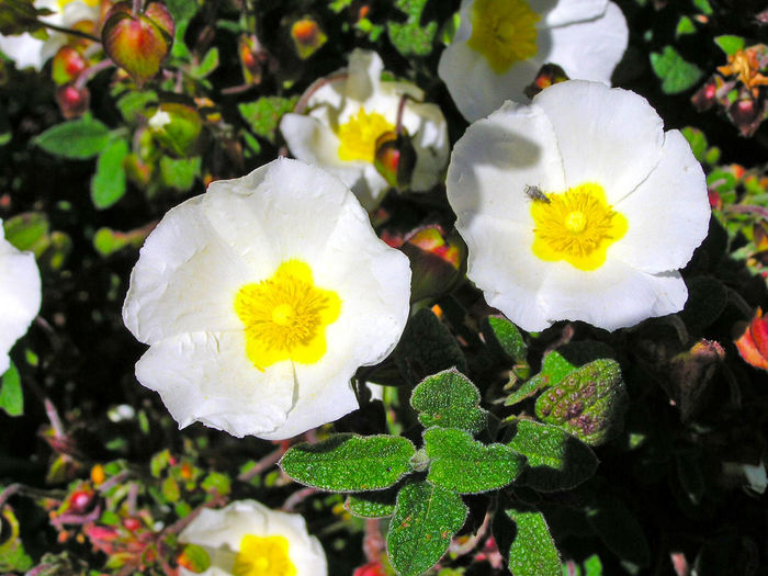 Beauty In Nature Blooming Cistus Cistus Salvifolius Close-up Day Environment Flora Flower Flower Head Flowers Fragility Freshness Growth Leaf Nature Nature No People Outdoors Petal Plant White Flower Wild Wildlife Yellow