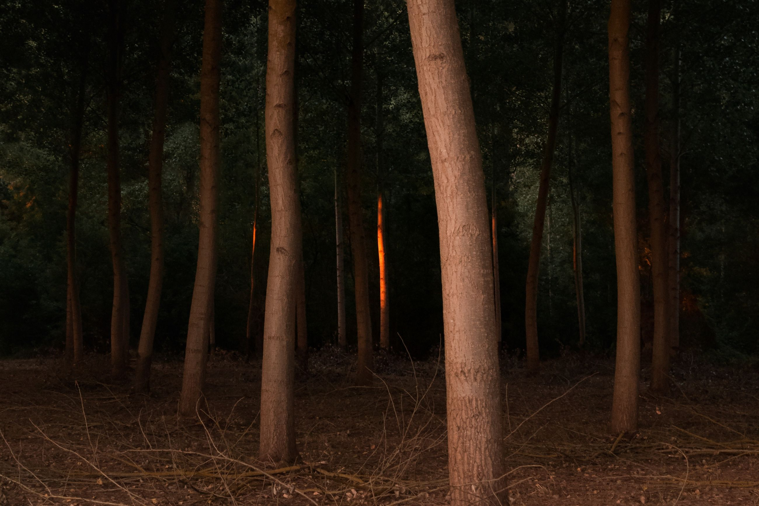 tree, forest, land, plant, tree trunk, trunk, woodland, nature, no people, tranquility, night, growth, non-urban scene, field, beauty in nature, tranquil scene, outdoors, scenics - nature, bamboo, bamboo - plant