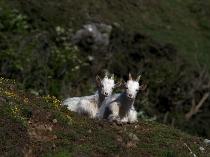 Kashmiri kid goats Mammal Animal Themes Animal Vertebrate Domestic Two Animals Land Field No People Day Nature Animal Wildlife Portrait Looking At Camera Plant Animals In The Wild Outdoors Kashmiri Goat Kashmiri Goats